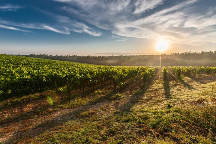 Vineyards across Europe gathering historically early harvests this year