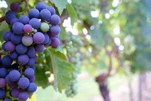 ideal wine grape growing